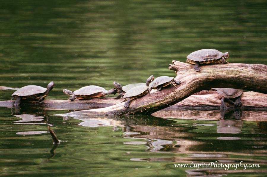 Beautiful turtles in Prospect Park. Brooklyn, New York City.