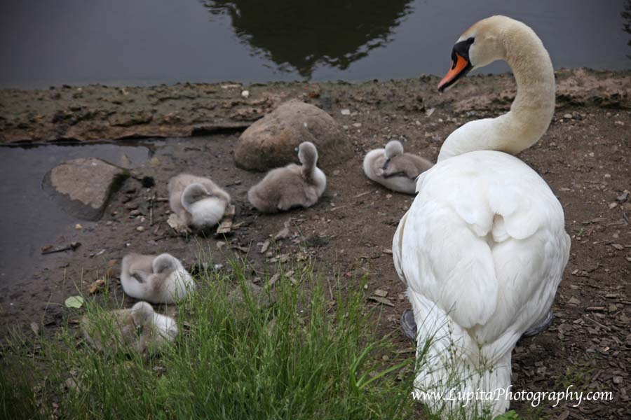 Gorgeous baby swans in Prospect Park. Brooklyn, New York City.