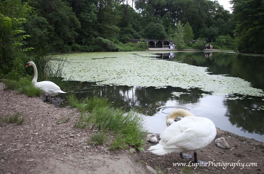 Beautiful swans and their babies in Prospect Park. Brooklyn, New York City.