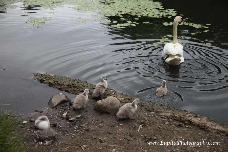 Beautiful baby swans in Prospect Park. Brooklyn, New York City.