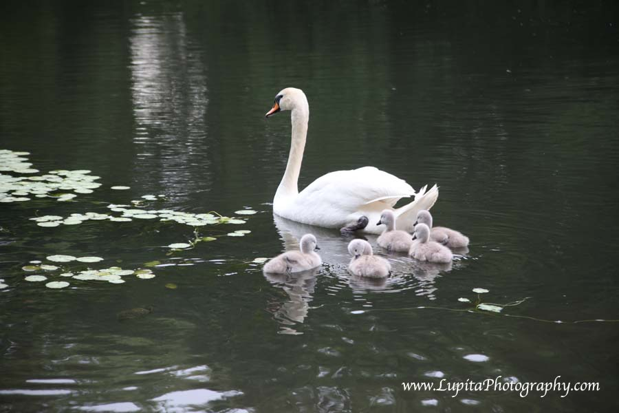 Beautiful baby swans and their parents in Prospect Park. Brooklyn, New York City.