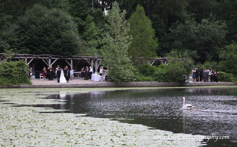 Beautiful wedding and baby swans in Prospect Park. Brooklyn, New York City.