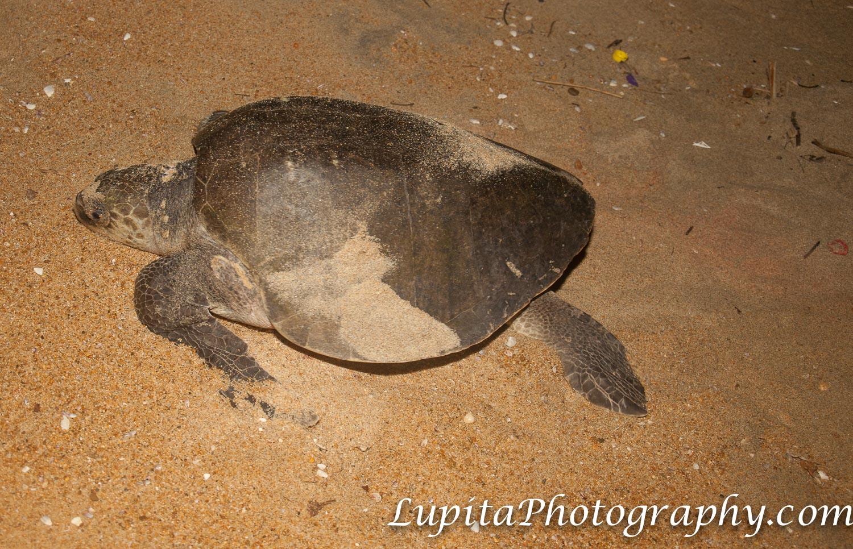 Playa Ventura, Copala. Guerrero, México - En Playa Ventura puedes participar en la conservación de tortugas marinas. In Playa Ventura you can participate in the conservation of sea turtles.