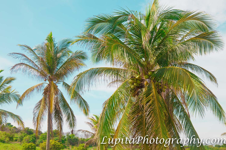 Playa Ventura, Copala. Guerrero, México - Cocos frescos y deliciosos para disfrutar las hermosas playas en Playa Ventura. Fresh and delicious coconuts to enjoy the beautiful beaches in Playa Ventura.